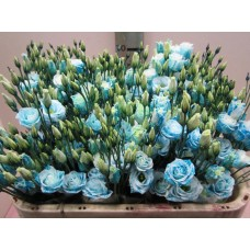 Eust db rosi g light blue 75 cm