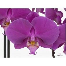 Phalaenopsis buffalo by 25 flowers