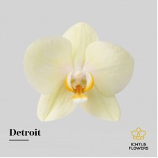 Phalaenopsis detroit by 25 flowers