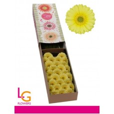 Germini lemon ice box 50cm
