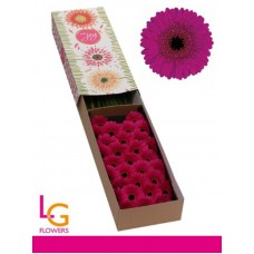 Germini whisper box 50cm