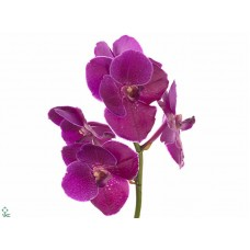 Vanda magic fuchsia x4