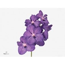 Vanda 16 stem pink magic 31cm