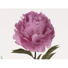 Paeonia dr a fleming 60cm