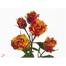 Rosa sp fire flash 50cm