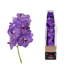 Vanda 4 stem blueberry smoothie 29cm
