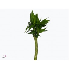 Lucky tiger bamboo straight 60 60cm