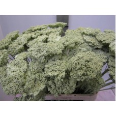 Achillea light green 80cm