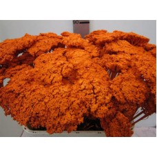 Achillea orange 80cm