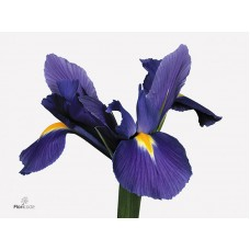 Iris blue magic 61cm