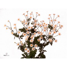 Tanacetum victory single 57cm