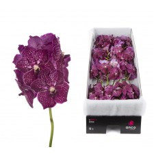 Vanda 16 stem ruby love 34cm