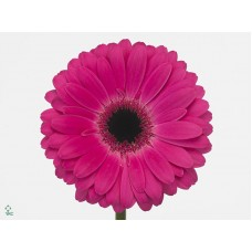 Gerbera rich diamond 45cm
