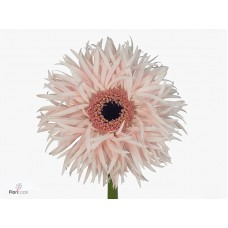 Gerbera cream springs diamond 45cm