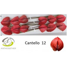Anth cantello 12