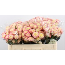 Rosa tr candelicious 50cm
