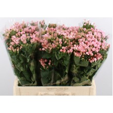 Bouvardia du diamond salmon 60cm