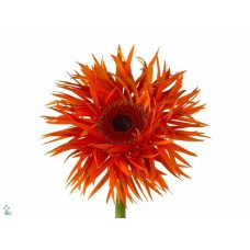 Gerbera orange springs diamond 45cm
