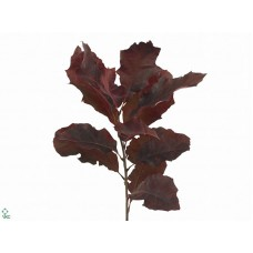 Oak leaves rubra mix 80cm