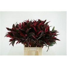 Cordyline red compactor 50cm