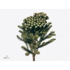 Cape green brunia spray 50cm