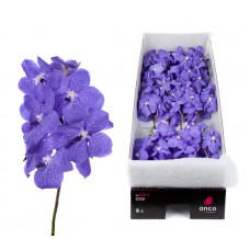 Vanda 16 stem light new blue