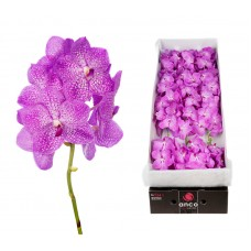 Vanda 16 stem candy floss 26cm