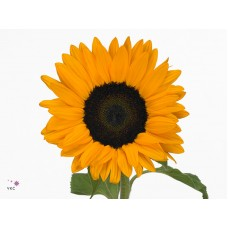 Helianthus orange fire 60cm