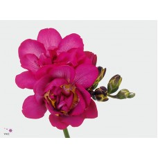 Freesia do purple rain 52cm