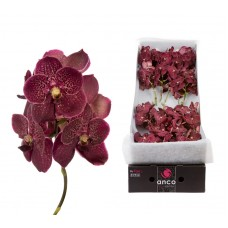 Vanda 16 stem chocolate red 24cm