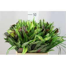 Asia mix 50cm X BUNCHES