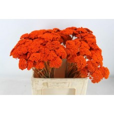 Achillea orange 60 cm