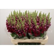Antirrhinum cool crimson 80 cm