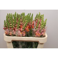 Antirrhinum maryland dark orange 75 cm