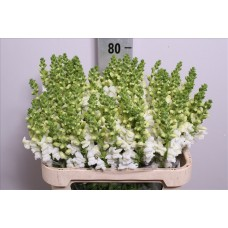 Antirrhinum maryland ivory white 70 cm