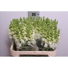 Antirrhinum maryland white 40 cm