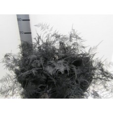 Buy Asperagus extra feathers black 65 cm wholesale dyed