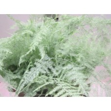 Buy Asperagus extra feathers mint green 65 cm wholesale dyed