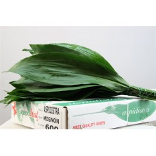 Aspidistra florida blue ribbon 60 cm x bunches