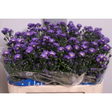 Aster chanel 75cm