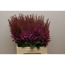 Astilbe black and blue 70cm