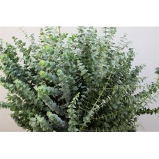 Baby blue albenga large 70 cm x bunches
