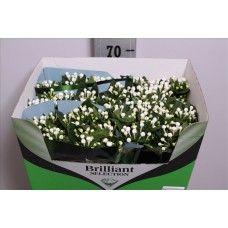 Bouvardia do diamond sparkles 50 cm