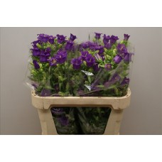 Campanula medium champion blue 57 cm