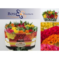 Celosia ar cr act mix in bunch 75 cm