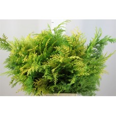 Conifer fust yellow 50cm