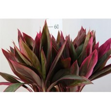 Cordyline long red sister 50 cm