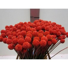 Craspedia red 60 cm