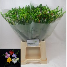 Freesia si mix 50 cm