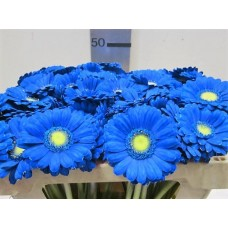 Buy Germini g blue 50 cm wholesale dyed